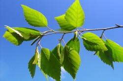 Березовые листья при артрозе коленного сустава