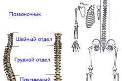Локализация сколиоза в различных отделах позвоночника